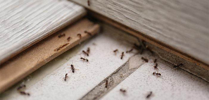 Kako se znebiti mravelj?