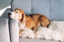 Družinski pes